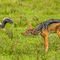 Ngorongoro Crater, a standoff between a Black-backed Jackal and an African White-backed Vulture